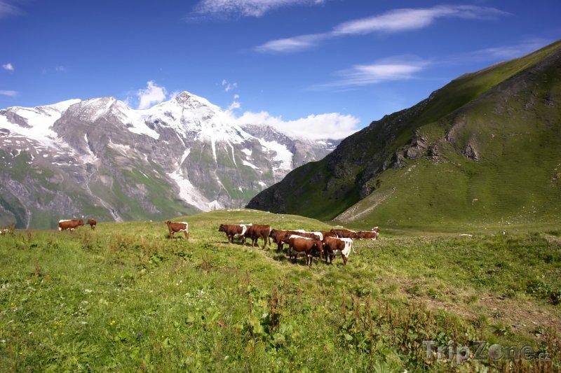Fotka, Foto Alpy, krávy na pastvě (Rakouské Alpy, Rakousko)