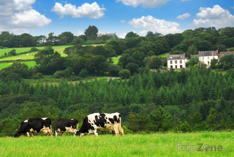 Fotka, Foto Bretaň, krávy na pastvě (Francie)