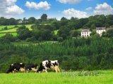 Bretaň, krávy na pastvě