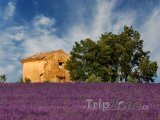 Provence, levandulové pole