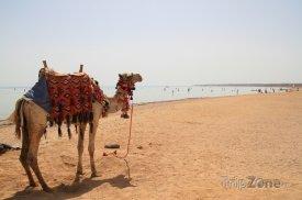 Sharm El Sheikh, velbloud na pláži