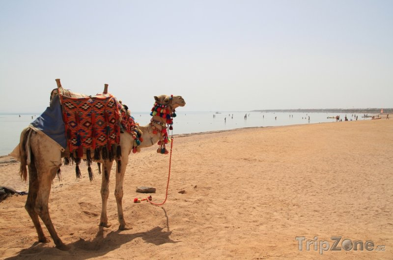 Fotka, Foto Sharm El Sheikh, velbloud na pláži (Sinaj, Egypt)
