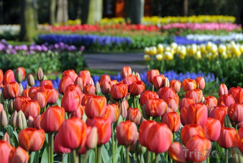 Fotka, Foto Tulipány v parku Keukenhof (Nizozemsko)
