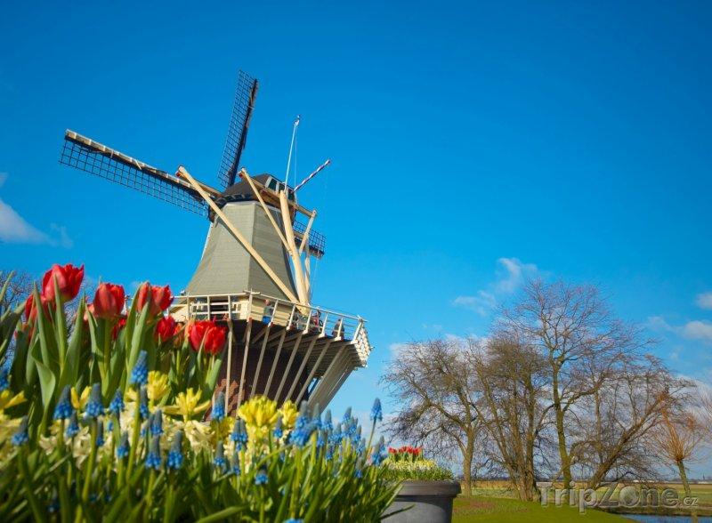Fotka, Foto Větrný mlýn a tulipány (Nizozemsko)