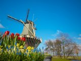 Větrný mlýn a tulipány