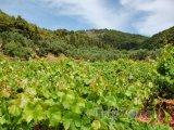 Vinice na ostrově Zakynthos
