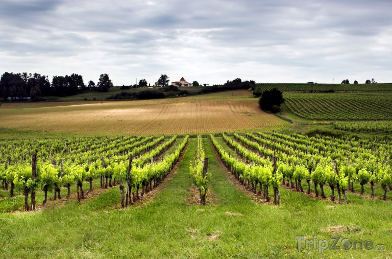 Fotka, Foto Vinice v okolí Bordeaux (Bordeaux, Francie)