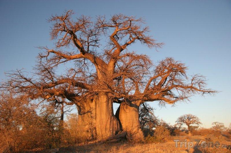 Fotka, Foto Baobab v poušti Kalahari (Botswana)