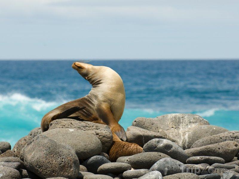 Fotka, Foto Galapágy, lachtan na kamenitém pobřeží (Ekvádor)