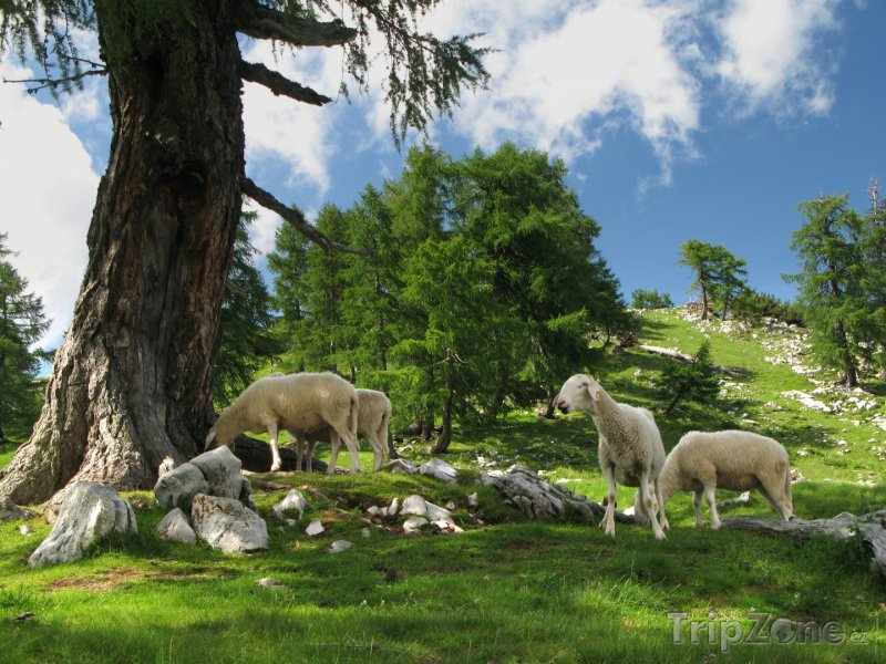 Fotka, Foto Horská pastvina v Julských Alpách (Slovinsko)