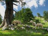Horská pastvina v Julských Alpách