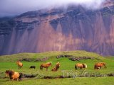 Islandští koně na loučce pod sopkou