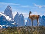 Lama v Národním parku Torres del Paine v Patagonii
