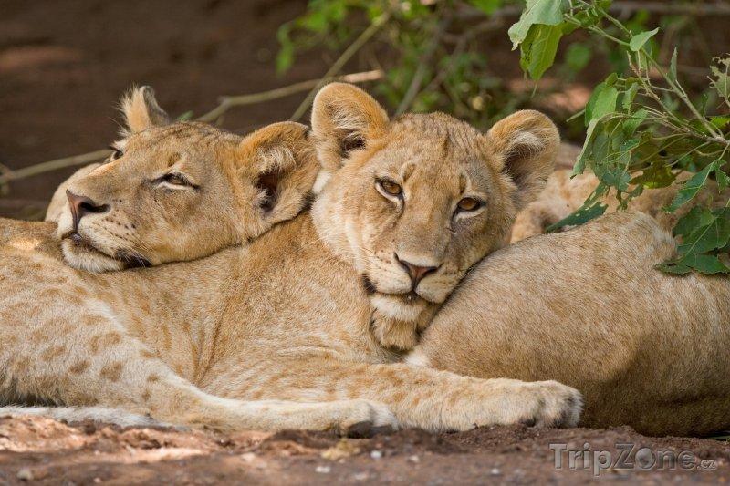 Fotka, Foto Lvi v národním parku Chobe (Botswana)