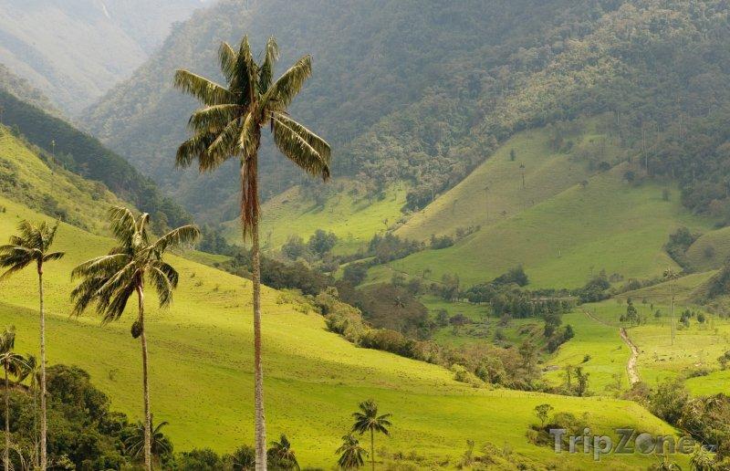 Fotka, Foto Palmy v údolí Cocora (Kolumbie)