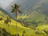 Palmy v údolí Cocora