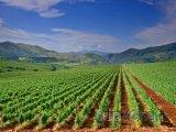 Pohled na úrodnou vinici