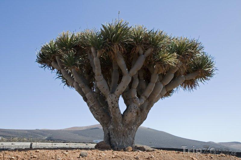 Fotka, Foto Pozoruhodný strom Dračinec na Lanzarote (Kanárské ostrovy, Španělsko)
