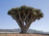 Pozoruhodný strom Dračinec na Lanzarote