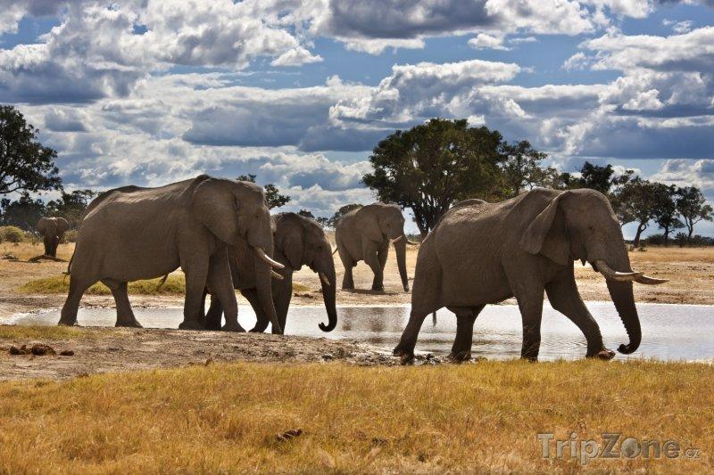 Fotka, Foto Sloni v národním parku Chobe (Botswana)