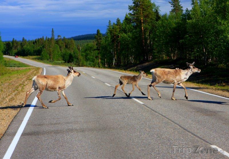 Fotka, Foto Sobi na silnici v Laponsku (Finsko)