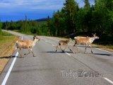 Sobi na silnici v Laponsku