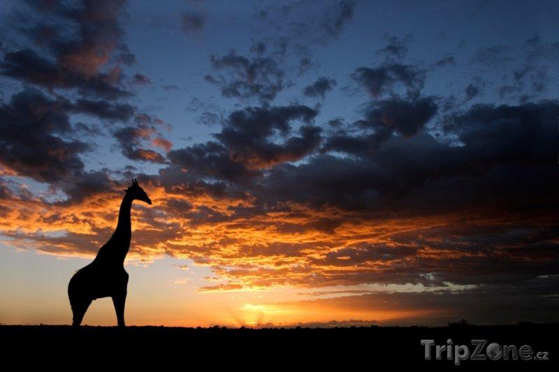 Fotka, Foto Žirafa na poušti Kalahari (Jihoafrická republika)