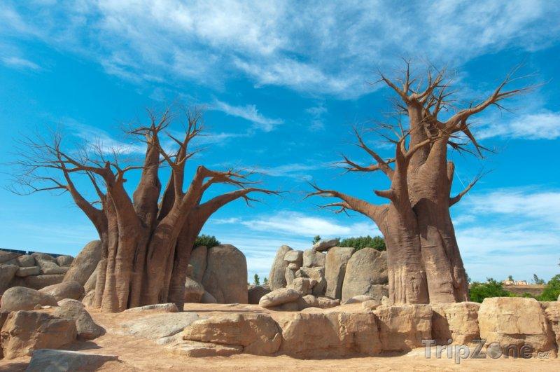 Fotka, Foto Baobaby s modrou oblohou na pozadí (Madagaskar)