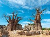 Baobaby s modrou oblohou na pozadí