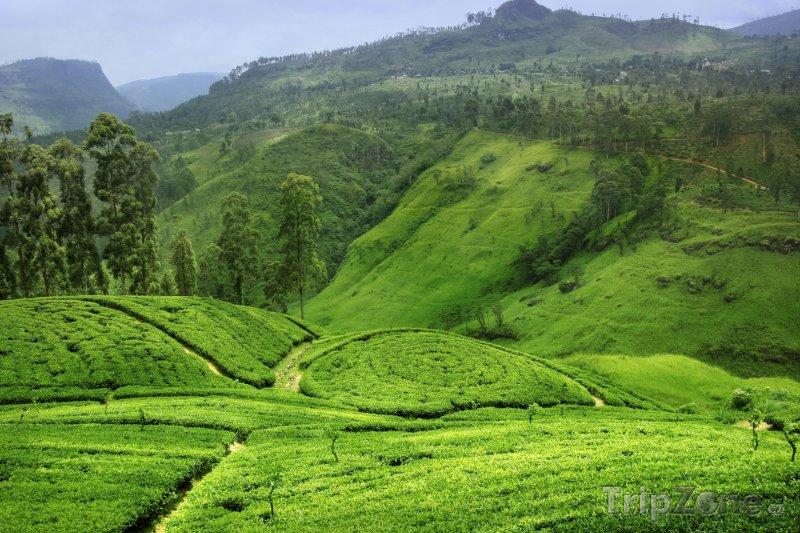 Fotka, Foto Čajové plantáže na Srí Lance (Srí Lanka)