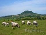 Dobytek na pastvě v regionu Badacsony