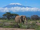 Dospělý slon, v pozadí zasněžené vrcholky hory Kilimandžáro