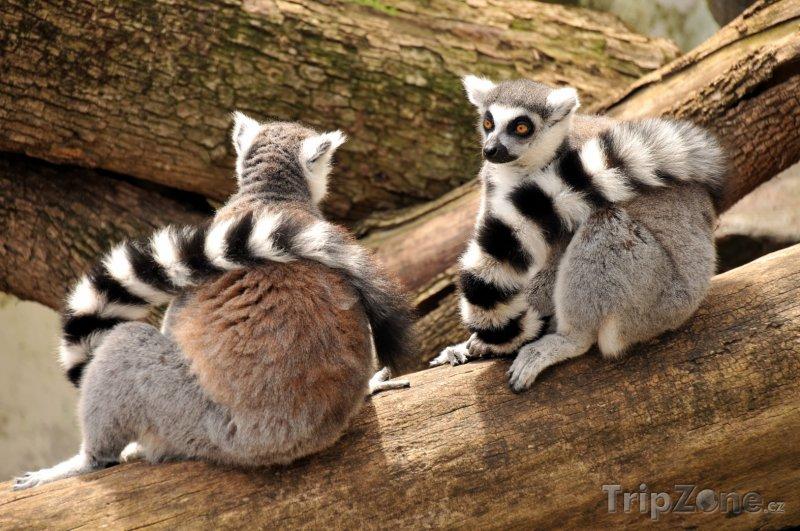 Fotka, Foto Dvojice lemurů kata (Madagaskar)