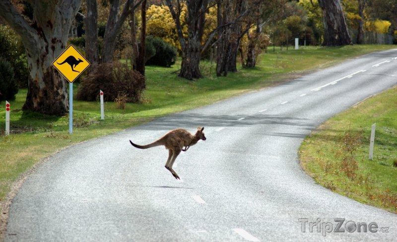 Fotka, Foto Klokan skákající přes cestu (Austrálie)