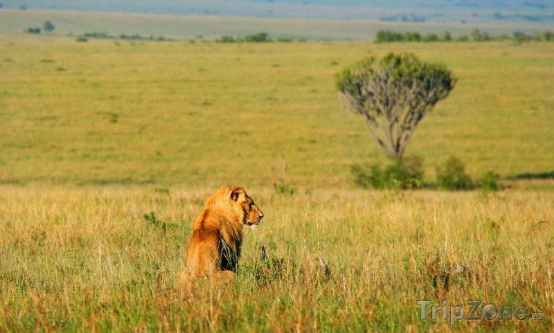 Fotka, Foto Lev v Národní rezervaci Masai Mara (Keňa)