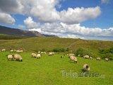 Ovce na pastvě v oblasti Connemara