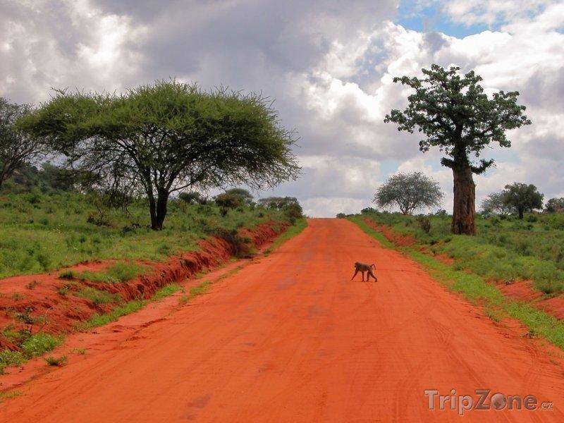 Fotka, Foto Pavián přebíhá silnici v Národním parku Východní Tsavo (Keňa)