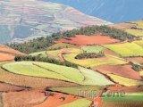 Pole v provincii Yunnan