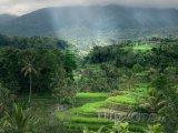 Rýžové terasy na ostrově Bali