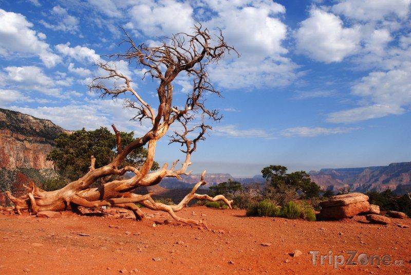 Fotka, Foto Uschlý strom v Grand Canyonu (USA)