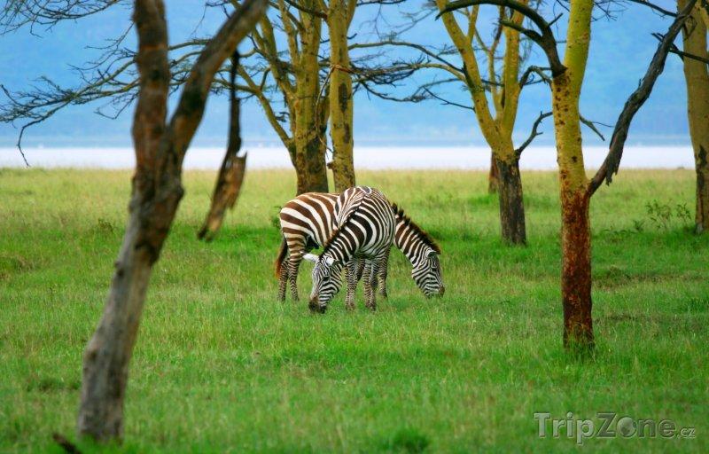 Fotka, Foto Zebry u jezera Nakuru (Keňa)