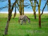 Zebry u jezera Nakuru