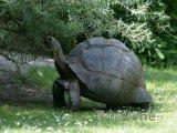 Želva obrovská - výsadní seychelský obyvatel