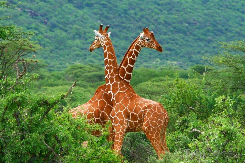 Fotka, Foto Žirafí souboj v Národní rezervaci Samburu (Keňa)