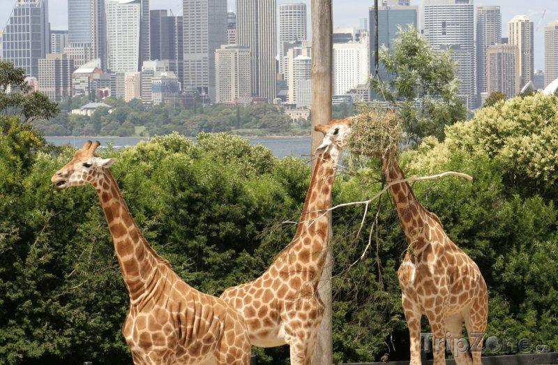 Fotka, Foto Žirafy v sydneyské zoo (Sydney, Austrálie)