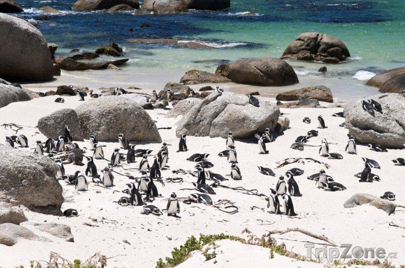 Fotka, Foto Kolonie tučňáků na Boulders beach (Kapské město, Jihoafrická republika)