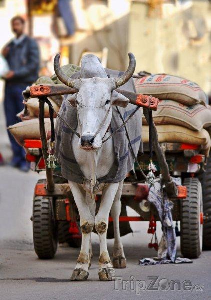 Fotka, Foto Nejčastější způsob přepravy zboží po městě (Nové Dillí, Indie)