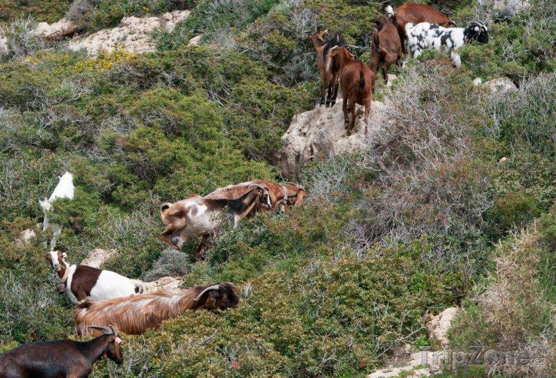 Fotka, Foto Divoké kozy (Pafos, Kypr)