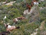 Divoké kozy