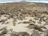 Kolonie tuleňů na pláži v Cape Cross